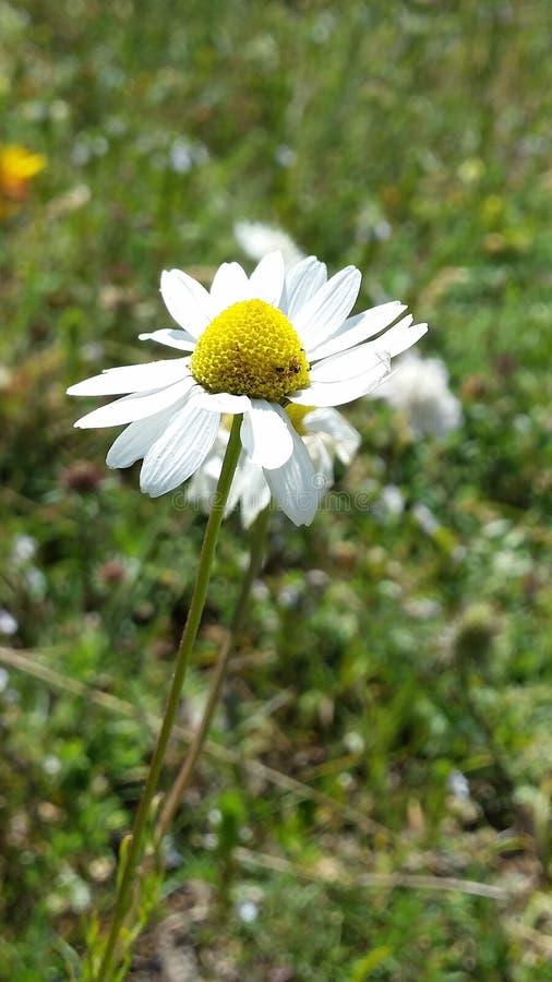 όμορφο λουλούδι μαργαρ&io στοκ εικόνα με δικαίωμα ελεύθερης χρήσης