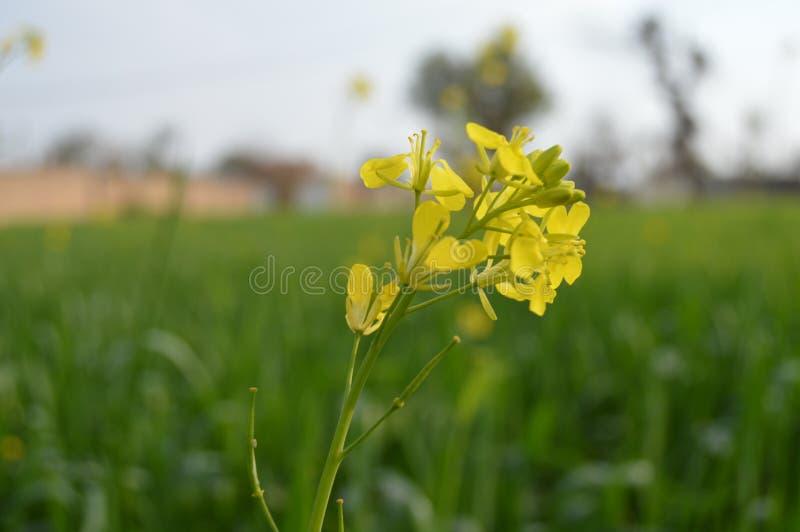 Όμορφο λουλούδι των φύλλων μουστάρδας στοκ φωτογραφίες