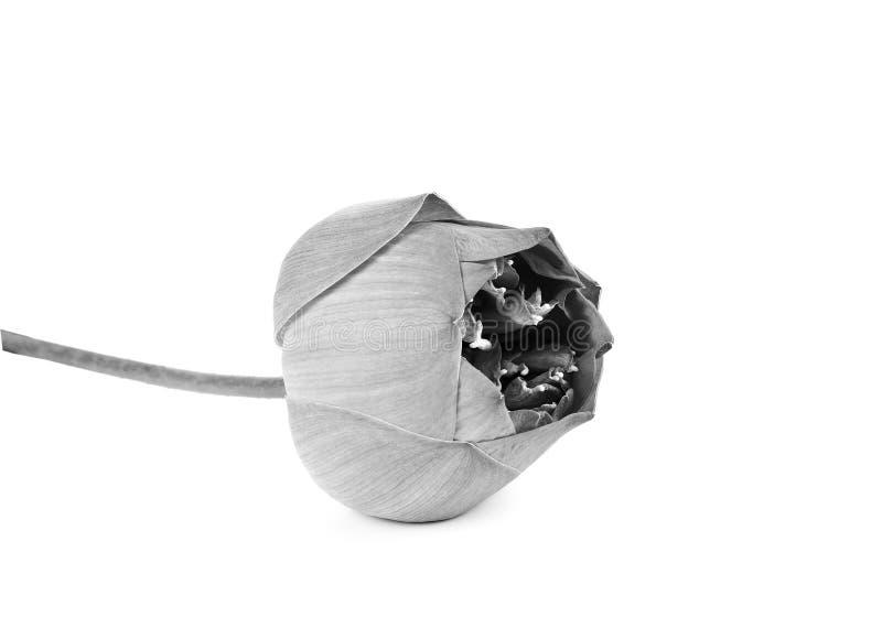 Όμορφο λουλούδι Lotus σε γραπτό στοκ εικόνα