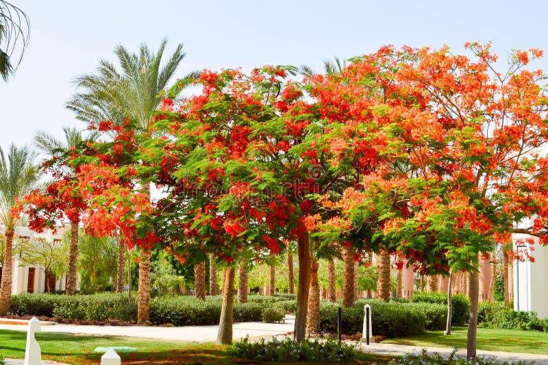 Όμορφο πάρκο με τα τροπικά όμορφα φυσικά εξωτικά φυτά, δέντρα με τα κόκκινα λουλούδια delonix και φοίνικες με τα πράσινα φύλλα, w στοκ φωτογραφίες