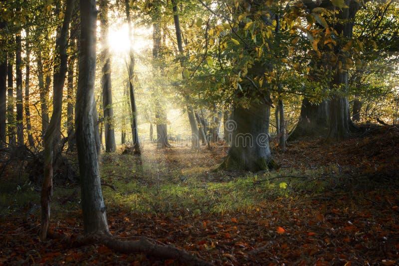 Όμορφο παλαιό δάσος το φθινόπωρο με τα sunrays, υπόβαθρο φύσης στοκ εικόνες