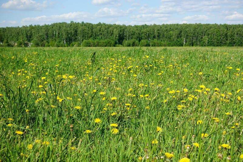 Όμορφο ποιμενικό τοπίο Τομέας με τα κίτρινα λουλούδια και την πράσινη χλόη στοκ εικόνες με δικαίωμα ελεύθερης χρήσης