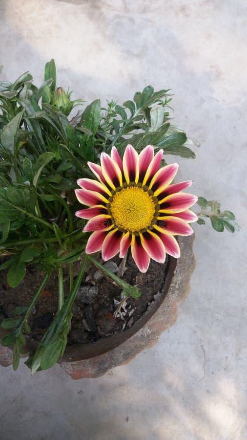 Όμορφο πολύχρωμο λουλούδι κινηματογραφήσεων σε πρώτο πλάνο στοκ φωτογραφία