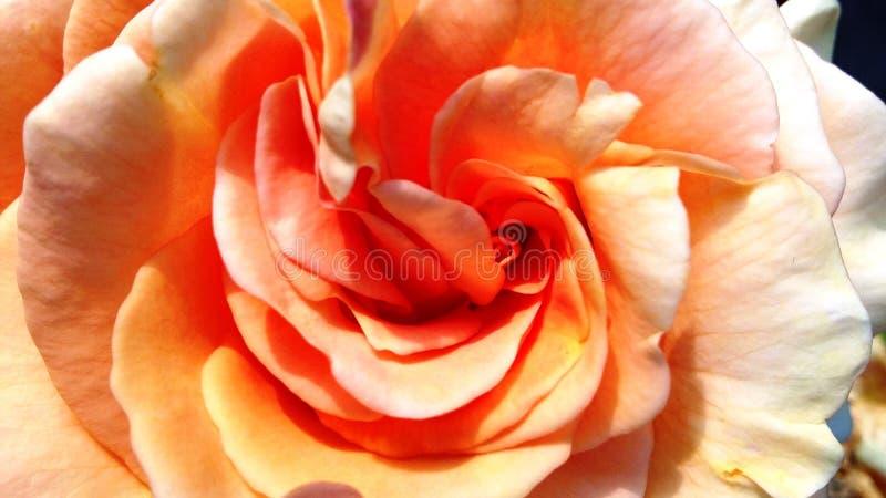 Όμορφο πορτοκάλι - το βερίκοκο αυξήθηκε στοκ φωτογραφίες