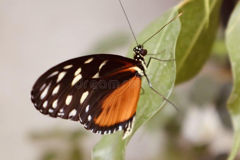 Όμορφο πορτοκαλί άσπρο μαύρο τροπικό λουλούδι πεταλούδων με ανθίζοντας άγριο λουλούδι λουλουδιών υποβάθρου το στενό επάνω στοκ φωτογραφίες με δικαίωμα ελεύθερης χρήσης