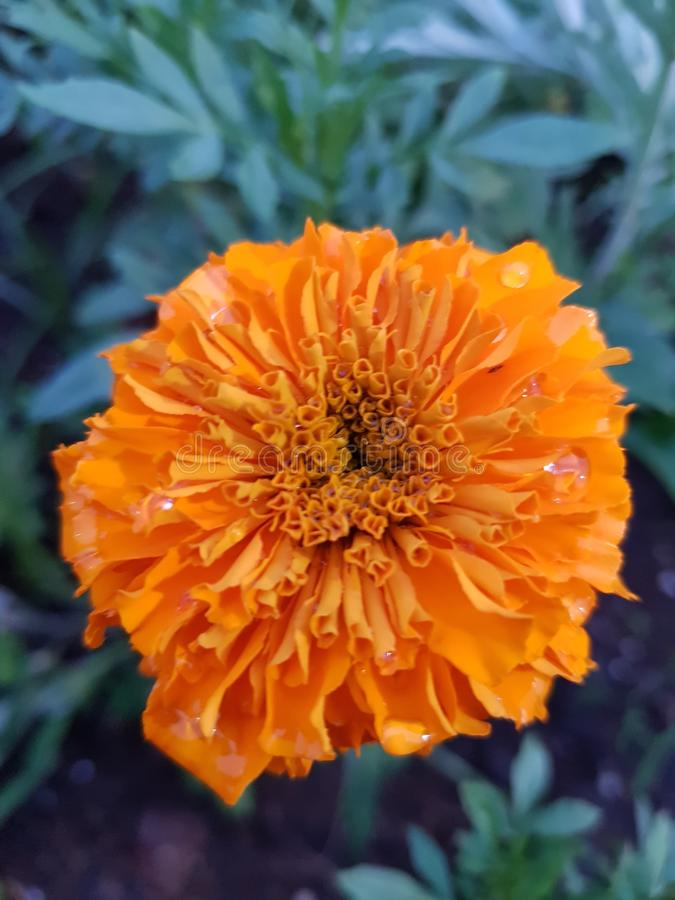 Όμορφο πορτοκαλί λουλούδι με τις πτώσεις νερού στοκ εικόνα