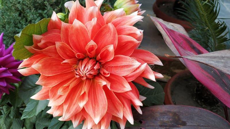 Όμορφο πορτοκαλί λουλούδι που συλλαμβάνεται το πρωί που φαίνεται κατάπληξη στοκ εικόνα