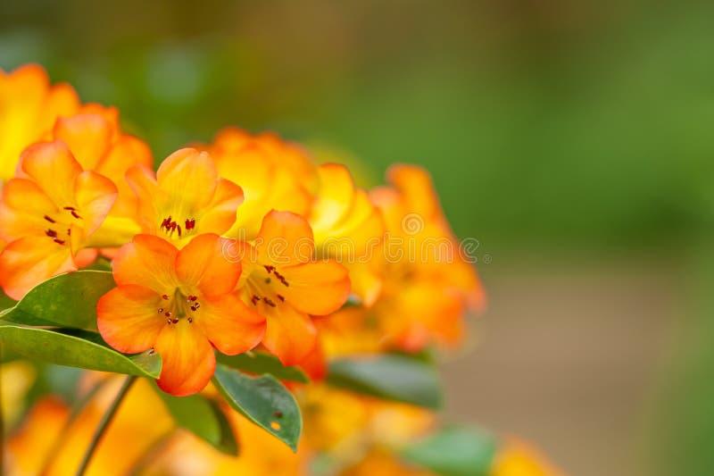 Όμορφο πορτοκαλί Rhododendron είναι στην άνθιση στον κήπο, ήπια υπόβαθρα πράσινων εγκαταστάσεων φωτεινό φως του ήλιου Θερινή εποχ στοκ εικόνα