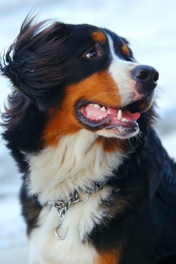 όμορφο πορτρέτο σκυλιών στοκ φωτογραφίες με δικαίωμα ελεύθερης χρήσης