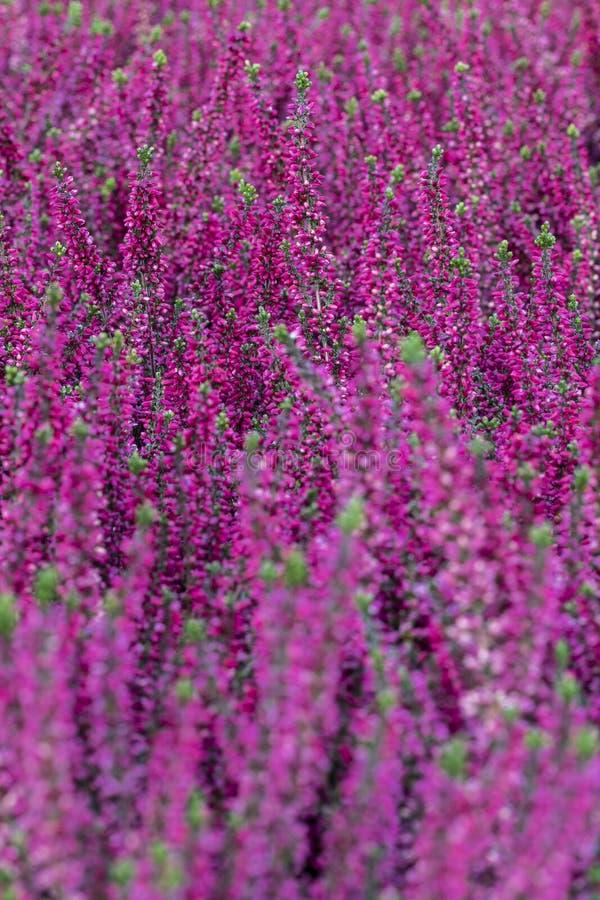 Όμορφο πορφυρό άνθισμα, ερείκη Calluna vulgaris στοκ εικόνα