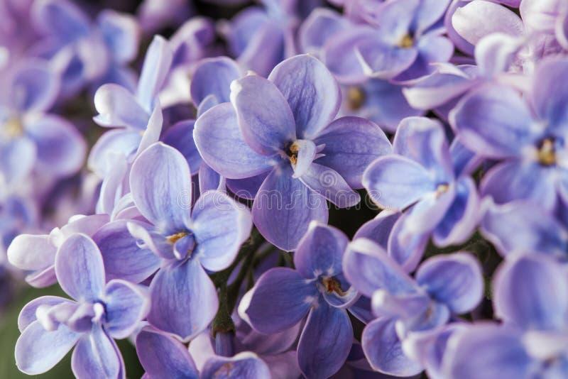 Όμορφο πορφυρό ιώδες λουλούδι ανθών αρώματος άνοιξη στοκ φωτογραφία