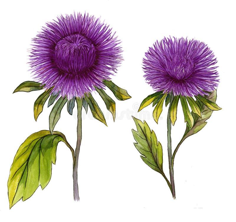 Όμορφο πορφυρό λουλούδι αστέρων σε έναν μίσχο με τα πράσινα φύλλα απεικόνιση αποθεμάτων