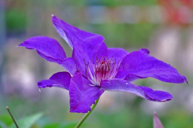 Όμορφο πορφυρό λουλούδι που φωτογραφίζεται από τη μακρο φωτογραφία στοκ φωτογραφία με δικαίωμα ελεύθερης χρήσης