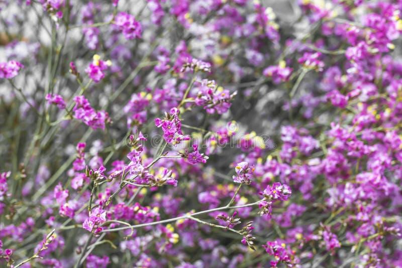 Όμορφο πορφυρό λουλούδι χλόης στον κήπο στοκ εικόνες