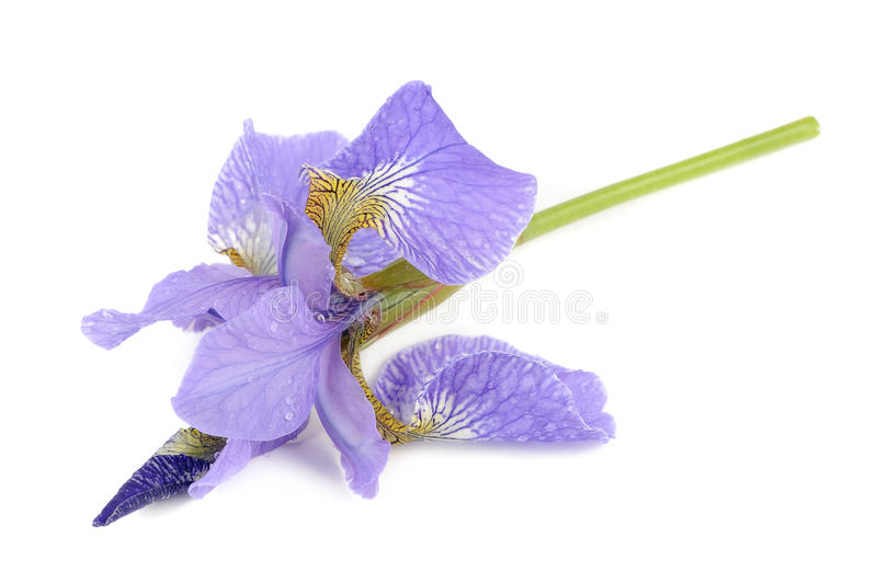 Όμορφο πορφυρό λουλούδι της Iris που απομονώνεται στο άσπρο υπόβαθρο στοκ εικόνα
