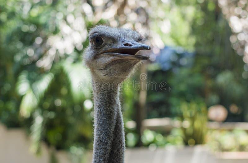 Όμορφο πουλί στρουθοκαμήλων στο ζωολογικό κήπο στοκ εικόνες με δικαίωμα ελεύθερης χρήσης