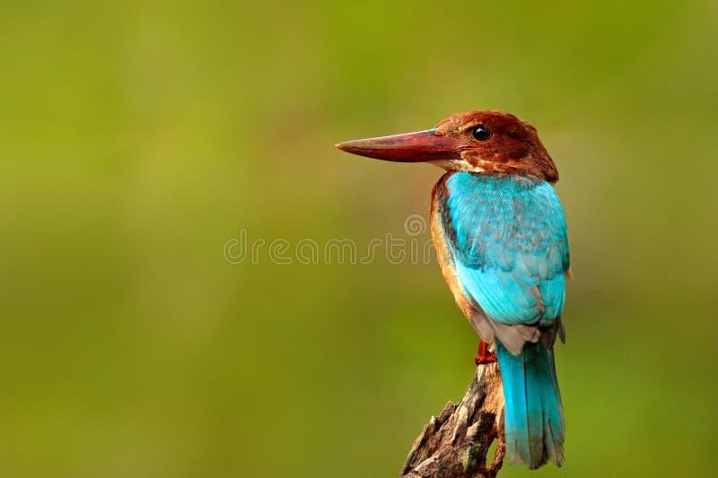 Όμορφο πουλί από την Ινδία Άσπρος-η αλκυόνη, το γαλήνιο smyrnensis, εξωτικό brawn και η μπλε συνεδρίαση πουλιών στον κλάδο, Λα Sr στοκ εικόνα με δικαίωμα ελεύθερης χρήσης