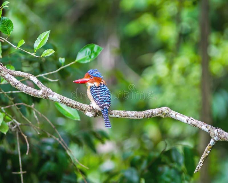 Όμορφο πουλί, ενωμένη αρσενικό αλκυόνη στο πράσινο υπόβαθρο (λάκκα στοκ φωτογραφία