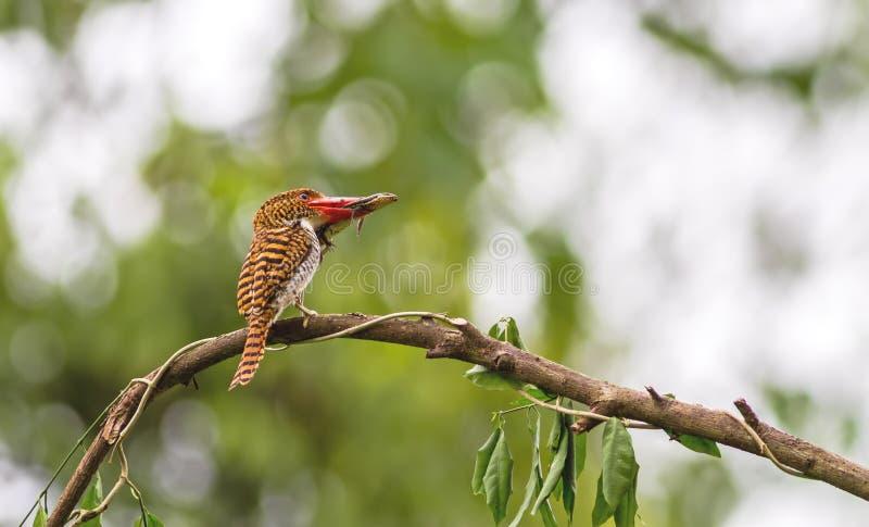 Όμορφο πουλί, ενωμένη θηλυκό αλκυόνη και μικρό Skink με το β στοκ εικόνες με δικαίωμα ελεύθερης χρήσης
