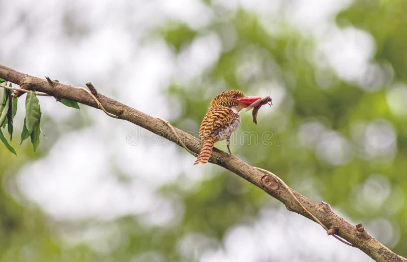 Όμορφο πουλί, ενωμένη θηλυκό αλκυόνη και μικρό Skink με το β στοκ φωτογραφία με δικαίωμα ελεύθερης χρήσης