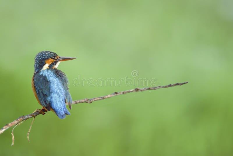 Όμορφο πουλί (κοινή αλκυόνη) που σκαρφαλώνει στον όμορφο κλάδο και το πράσινο υπόβαθρο στοκ εικόνες