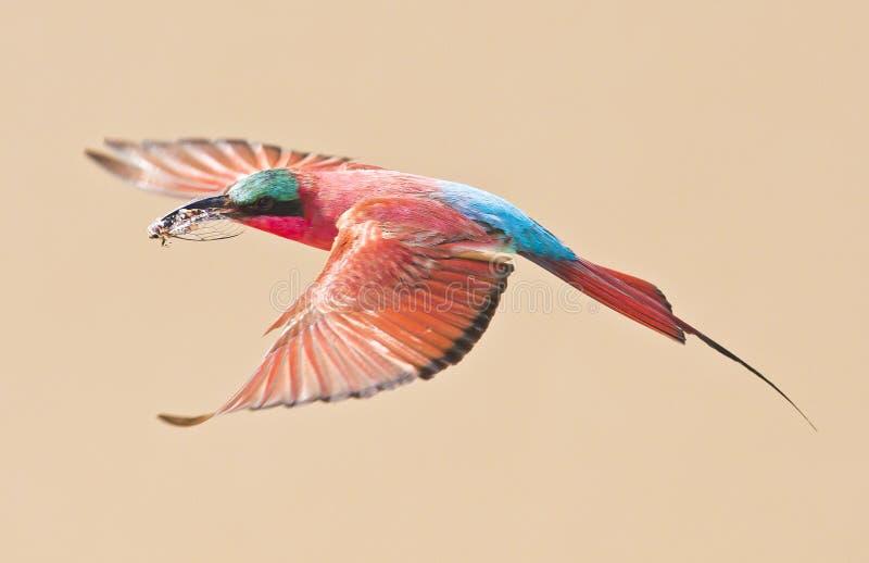 Όμορφο πουλί που πετά, τρώγων μελισσών καρμινίου στοκ εικόνες