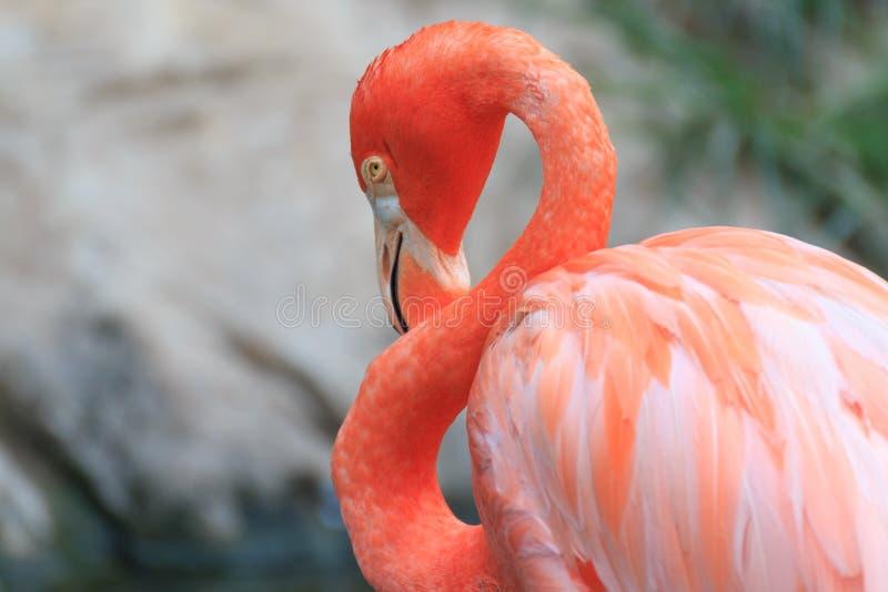 Όμορφο πουλί φλαμίγκο στοκ εικόνα με δικαίωμα ελεύθερης χρήσης