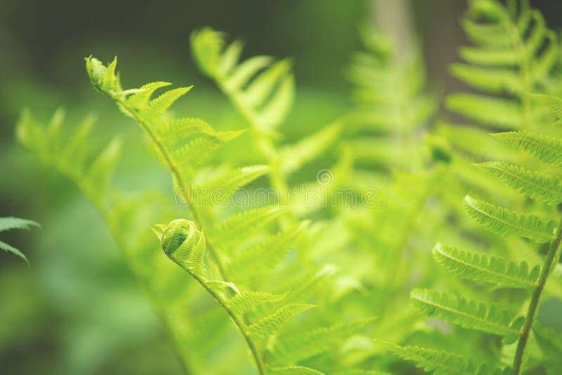 Όμορφο πράσινο φύλλωμα φύλλων φτερών φυσικό floral υπόβαθρο φτερών την άνοιξη στοκ φωτογραφία με δικαίωμα ελεύθερης χρήσης