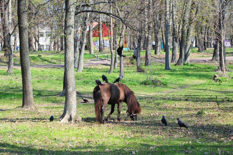 Όμορφο πόνι με το αστείο κοπάδι Γύροι πόνι Άλογο πόνι στο αγροτικό λιβάδι μια ηλιόλουστη ημέρα με τους κόρακες στοκ φωτογραφία με δικαίωμα ελεύθερης χρήσης