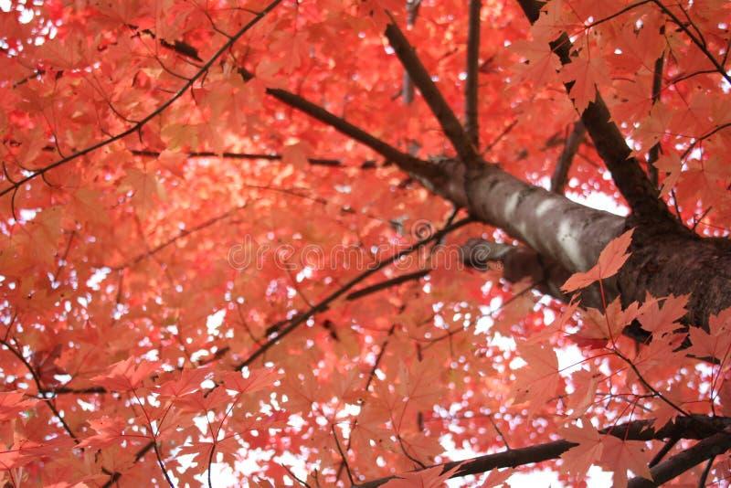 όμορφο ροδάκινο φύλλων χρώ&m στοκ φωτογραφία με δικαίωμα ελεύθερης χρήσης