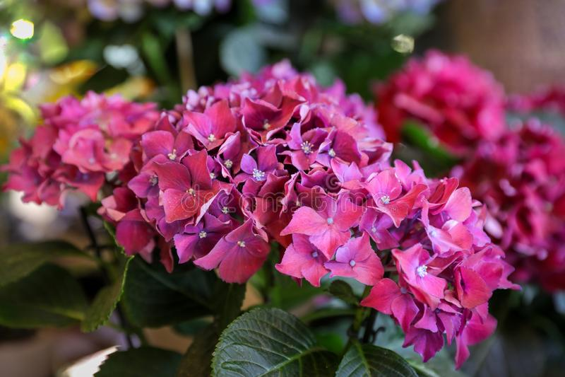 Όμορφο ροδανιλίνης-darkmagenta Hydrangea ή εγκαταστάσεις macrophylla Hydrangea στοκ εικόνα