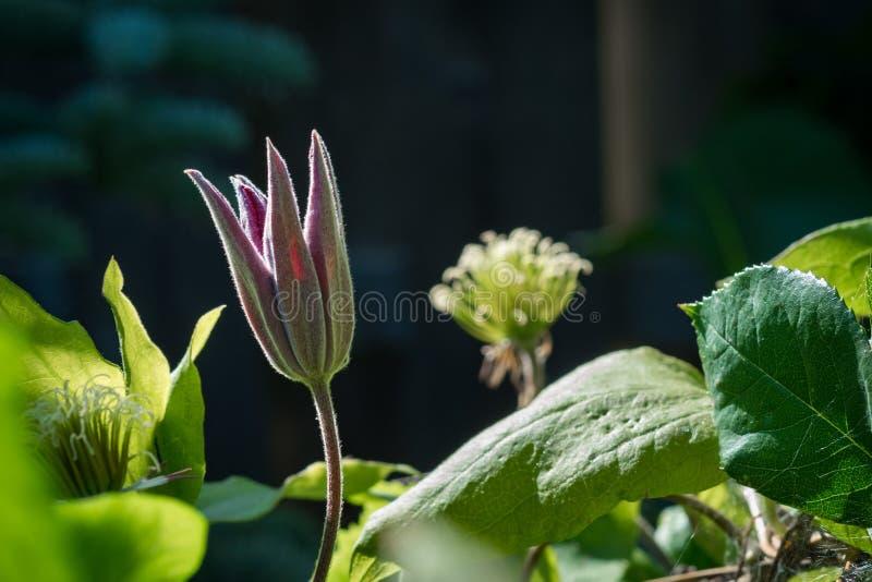 Όμορφο ροζ, βαθιά - κόκκινο λουλούδι Clematis που ανοίγει σε έναν κήπο στοκ φωτογραφία με δικαίωμα ελεύθερης χρήσης