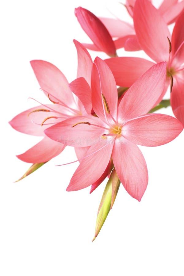 όμορφο ροζ κρίνων στοκ εικόνα με δικαίωμα ελεύθερης χρήσης