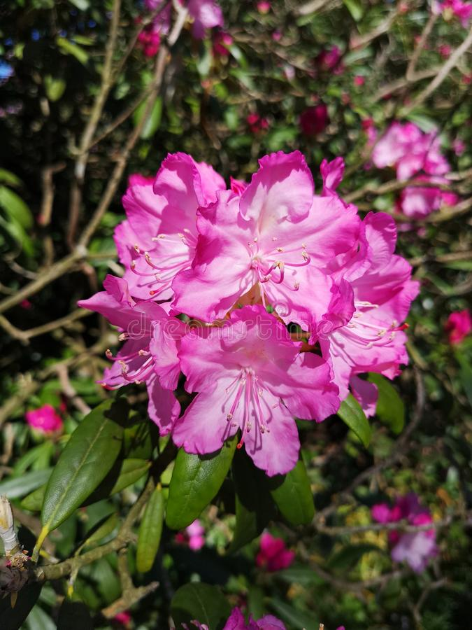 όμορφο ροζ λουλουδιών στοκ φωτογραφία