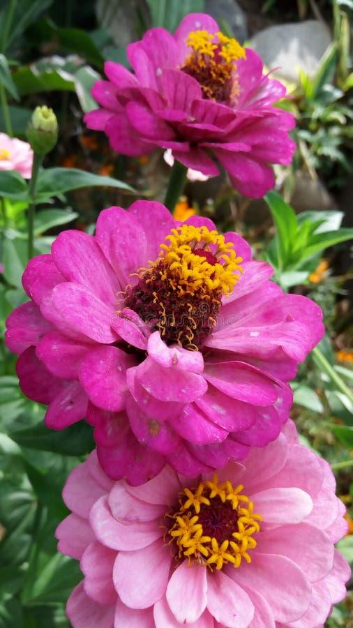 όμορφο ροζ λουλουδιών &alp στοκ εικόνες με δικαίωμα ελεύθερης χρήσης