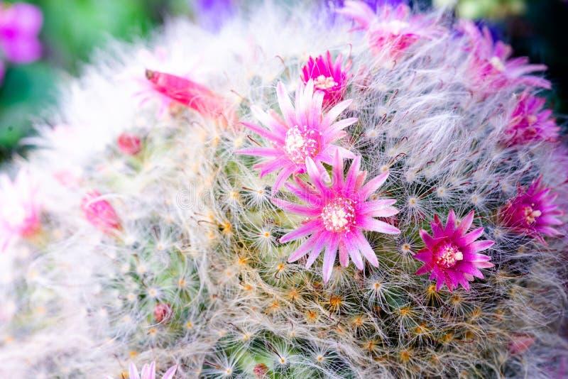 Όμορφο ροζ λουλούδι Mammillaria M μποκασάνα Ποσίγκ στην κατσαρόλα στοκ εικόνες με δικαίωμα ελεύθερης χρήσης