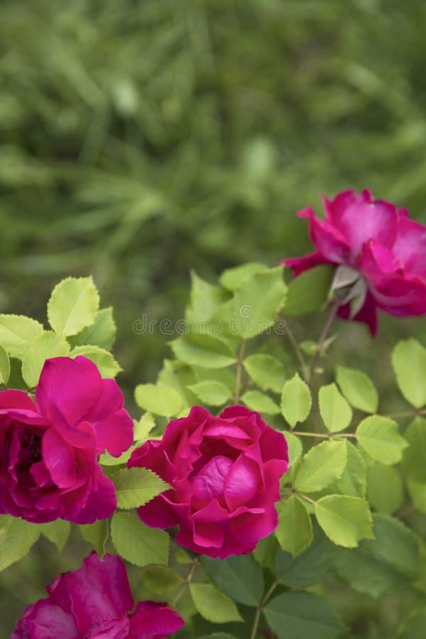 Όμορφο ροζ που αναρριχείται στα τριαντάφυλλα την άνοιξη στον κήπο στοκ φωτογραφία με δικαίωμα ελεύθερης χρήσης