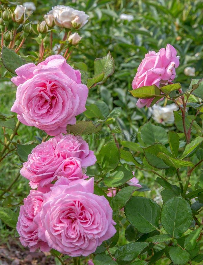 Όμορφο ροζ τριαντάφυλλο στον κήπο, ηλιόλουστη μέρα, με οπίσθιο φωτισμό στοκ φωτογραφίες με δικαίωμα ελεύθερης χρήσης
