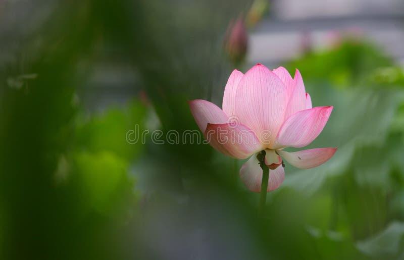 όμορφο ροζ λωτού λουλουδιών στοκ φωτογραφία με δικαίωμα ελεύθερης χρήσης