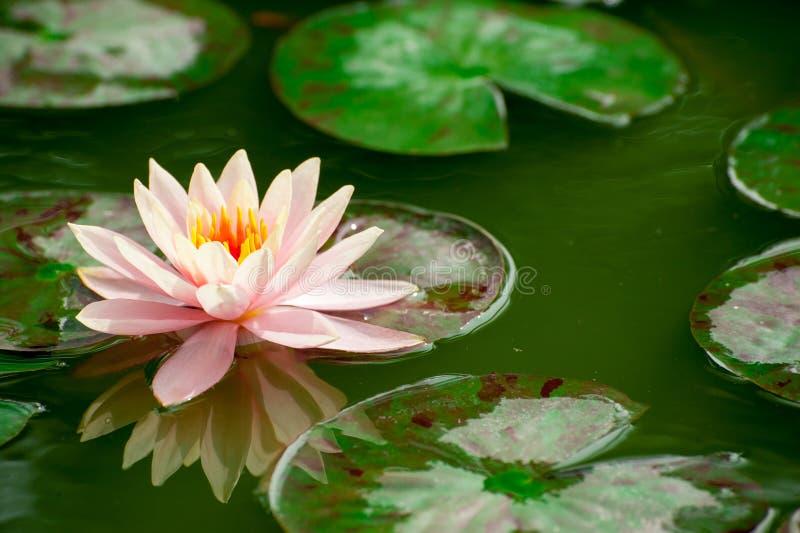 Όμορφο ροζ waterlily ή λουλούδι λωτού στη λίμνη στοκ φωτογραφία