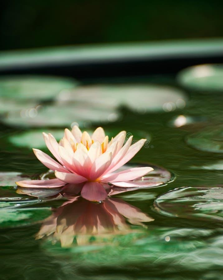 Όμορφο ροζ waterlily ή λουλούδι λωτού στη λίμνη στοκ εικόνες