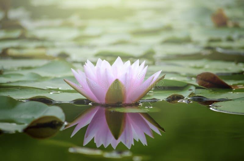 Όμορφο ρόδινο λουλούδι λωτού στη λίμνη νερού μετά από τη βροχή στην αντανάκλαση με το φως στον κήπο στοκ εικόνα