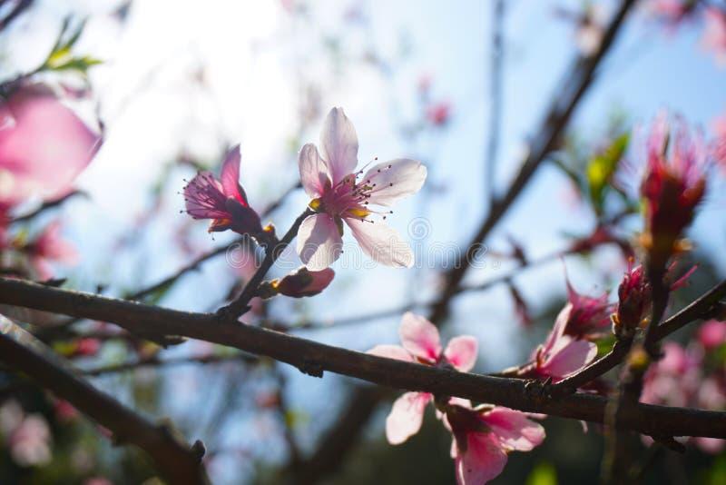 Όμορφο ρόδινο λουλούδι ροδάκινων στην ηλιοφάνεια στοκ φωτογραφίες