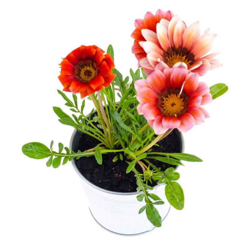 Όμορφο ρόδινο λουλούδι στο δοχείο μετάλλων στο φωτεινό υπόβαθρο κρητιδογραφιών στοκ φωτογραφίες
