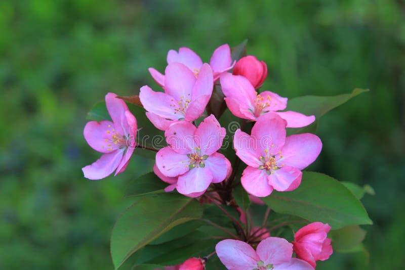 Όμορφο ρόδινο μήλο λουλουδιών που ανθίζουν την άνοιξη στοκ εικόνες