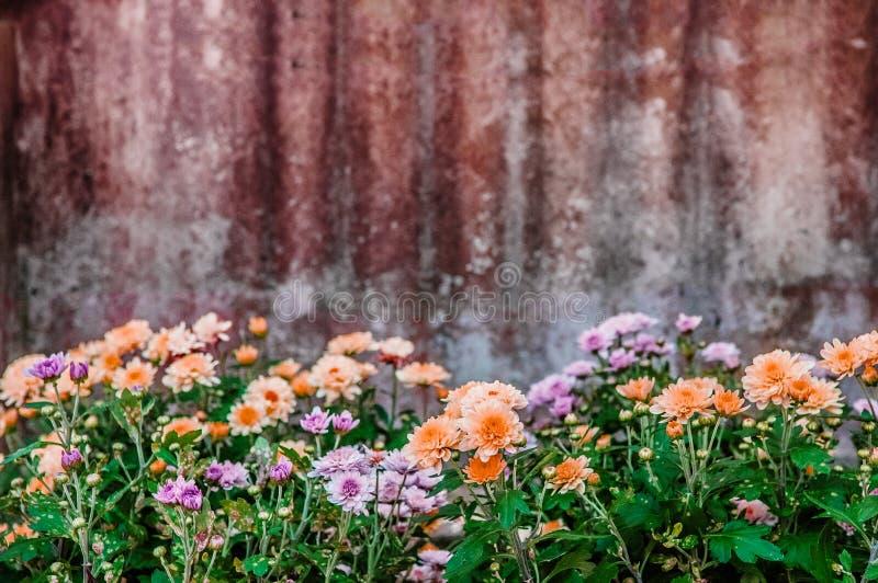 Όμορφο ρόδινο πορτοκαλί ανθίζοντας λουλούδι χρυσάνθεμων με το βρώμικο αγροτικό γαλβανισμένο υπόβαθρο σιδήρου στοκ φωτογραφίες