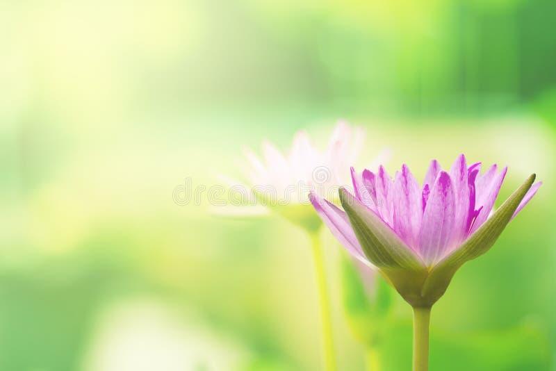 Όμορφο ρόδινο ταϊλανδικό Lotus που έχει εκτιμηθεί με τη σκούρο μπλε επιφάνεια νερού στοκ φωτογραφίες