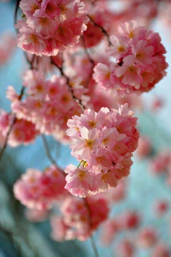 Όμορφο ρόδινο sakura, ιαπωνικό κεράσι στο υπόβαθρο μπλε ουρανού στοκ φωτογραφίες