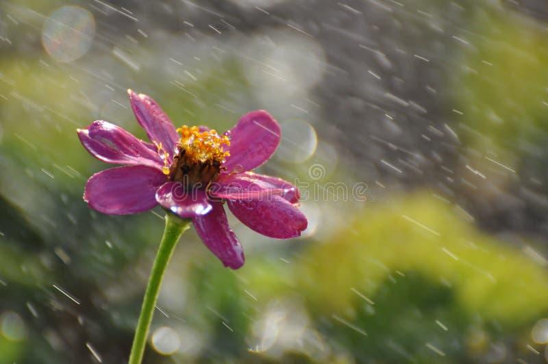 Όμορφο ρόδινο άγριο υγρό λουλούδι στη βροχή στοκ εικόνα