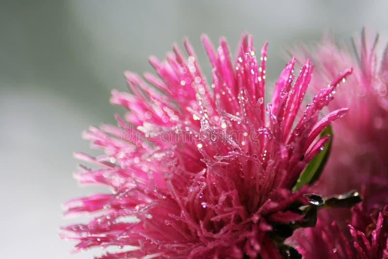 Όμορφο, ρόδινο λουλούδι που καλύπτεται με τις πτώσεις νερού στοκ φωτογραφία